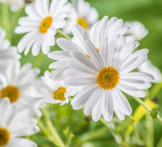 Chamomile- Indigestion Remedies
