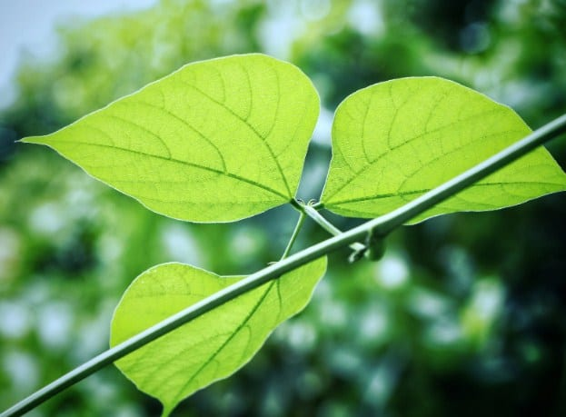 Bean Leaves- Best Home Remedies To Get Rid Of Bed Bugs
